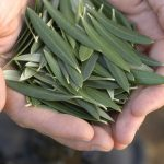 Olive-leaf-extract-benefits