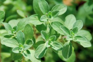 Health-Benefits-of-Marjoram