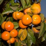 10 Amazing Health Benefits of Persimmon Tree