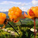 Cloudberry fruit