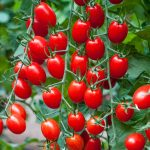 Specifications Of The Tomato Planter And The Plant Must Match